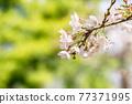 櫻花盛開,美麗的粉紅色花瓣 77371995