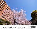 櫻花 櫻 吉野櫻花樹 77372001
