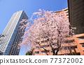 櫻花 櫻 吉野櫻花樹 77372002