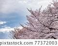 櫻花盛開,美麗的粉紅色花瓣 77372003
