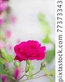 玫瑰花 花 紅 77373343