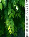 綠 綠色 葉 77373479