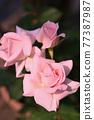 장미 (신부 핑크) 77387987