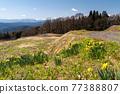 daffodil, narcissus, daffodils 77388807