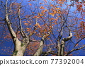 wood, tree, japanese zelkova 77392004