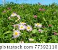 bloom, blossom, blossoms 77392110