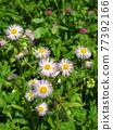 flower, flowers, Red Clover 77392166