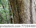 樹幹 質感 質地 77394480