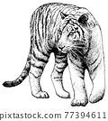 老虎 虎 動物 77394611