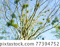 Mistletoe 77394752