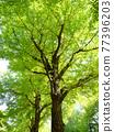 신록의 은행 나무 가로수 77396203
