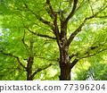 신록의 은행 나무 가로수 77396204