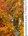 maple, yellow leafe, canyon 77402757