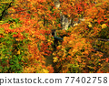 maple, yellow leafe, canyon 77402758