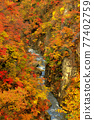maple, yellow leafe, canyon 77402759