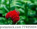 locust sit on celosia argentea flower and green blurred background 77405604