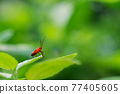 Small red bug on leaf and blurred background 77405605