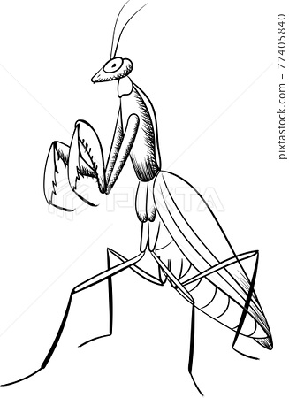 mantis vector  black line  illustration of  insect 77405840