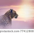 Leopard at sunset 77412808
