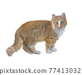 Fluffy red cat isolated on white background. Digital illustration. 77413032
