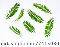 Sesbania Grandiflora leaves on white. 77415080