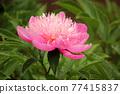 abloom, bloom, blooming 77415837