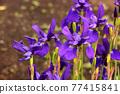 bloom, japanese iris, iris 77415841