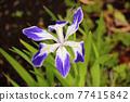 bloom, japanese iris, iris 77415842
