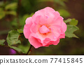 bloom, rose, roses 77415845