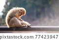 Snow monkey mom find fleas on baby, Yamanouchi 77423947
