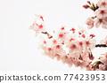 Pink cherry blossom or sakura isolated on white 77423953