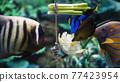 fish eat vegetable on rope at Ngaoya aquarium 77423954