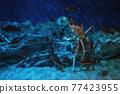 Japanese king crab in Nagoya aquarium 77423955