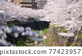 cherry blossom at Yamazaki river, Nagoya 77423957