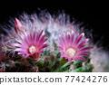 close up pink flower of mammillaria boscana cactus 77424276