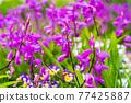 水仙花 花朵 花 77425887