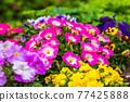矮牽牛 花園 花朵 77425888