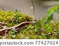 a lizard, lizard, reptile 77427024