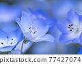 Spring flower nemophila 77427074