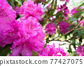 Rhododendron 77427075