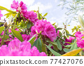Rhododendron 77427076