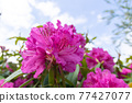 Rhododendron 77427077