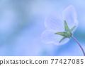 Spring flower nemophila 77427085