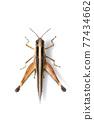 Image of sugarcane white-tipped locust grasshopper (Ceracris fasciata) isolated on white background. Insect Animal. Caelifera., Acrididae 77434662