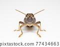Image of white-banded grasshopper(stenocatantops splendens) isolated on white background. insect. Brown grasshopper 77434663
