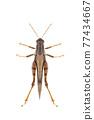 Image of white-banded grasshopper(stenocatantops splendens) isolated on white background. insect. Brown grasshopper 77434667