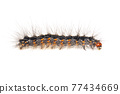 Image of hairy caterpillar isolated on white background. Insect. Worm. Animal. 77434669