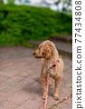 玩具貴賓犬紅色 77434808