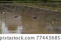 rice planting, paddy field, rice field 77443685