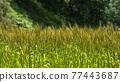 Ear of wheat 77443687